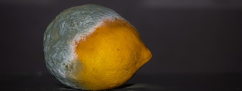 mold infested lemon with half of it too moldy to eat